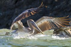 Pepe - Google+ - Brown Pelican landing by VenaCos