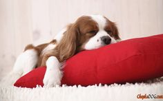 Photos with wonderful little dog sleeping breed Cavalier King Charles Spaniel.