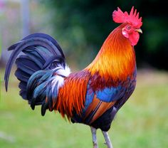 the Rooster-Watch Out for Him During this Election Period. I searched for this on /imagesButch the Rooster-Watch Out for Him During this Election Period. I searched for this on /images Fancy Chickens, Chickens And Roosters, Chickens Backyard, Types Of Roosters, Bantam Chickens, Beautiful Chickens, Beautiful Birds, Animals Beautiful, Rooster Painting