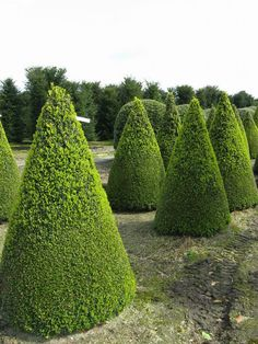 Taxus baccata (English yew) topiary cones come in a range of heights from 140-300 cm. Its relatively slow growth rate means that yew topiary only needs to be clipped once a year in late summer to maintain its shape.