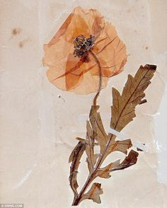 When Private Cecil Roughton, a poppy from the battlefield in Arras, France, in and posted it home, his family treasured it in a notebook. Now it has been revealed as the oldest poppy in Britain. World War One, First World, Remembrance Poppy, Illusion, Armistice Day, Flanders Field, Anzac Day, Interesting History, World History