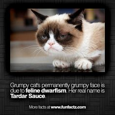"""The cat featured in the popular internet meme """"grumpy cat"""" has a permanently grumpy face is due to feline dwarfism. Her real name is Tardar Sauce."""