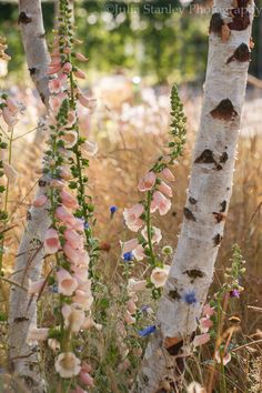 Wonderful (color) combination of Digitalis, Centaurea and birch.