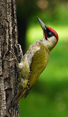 European Green Woodpecker, every morning at 5.45am one of these little perishers wakes me up with his pesky little beak going at 100 miles an hour outside my bedroom window!!