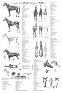 horse anatomy poster created using 29 vintage illustrations from the anatomy of the horse book by - Veterinary Anatomy Coloring Book
