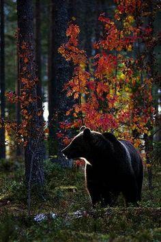 Magic Autumn Colors By Enrico Boscolo Mammifères Especie Animal, Mundo Animal, Beautiful Creatures, Animals Beautiful, Animals And Pets, Cute Animals, Wild Animals, Black Animals, American Black Bear