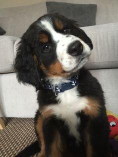 Beautiful Bernese mountain dog puppy ...Called Thor ❤️