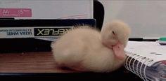Sleepy duck!!