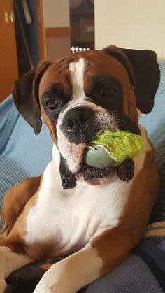 Exceptional boxer dogs detail is available on our web pages. Read more and you will not be sorry you did.