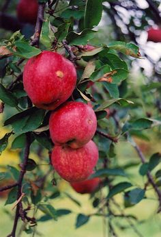 1136 Best Abc S Of Rosaceae Images In 2016 Planting