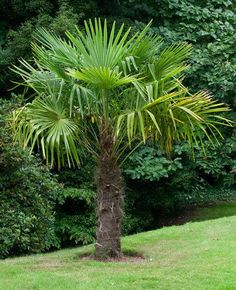 Windmill Palm Tree | Cold Hardy Palm Trees for Sale | Fast Growing Trees