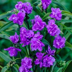 """Widow's Tears Mac's Double...for zones 3-9; Star-shaped, 2"""" double blooms are a vibrant violet-blue in colour and surefire show stealers. Clump forming perennial has long grey green leaves and is extremely easy to grow. Widow's Tears bloom from early summer till the first frost. An excellent plant for containers and the back borders. Grows 16"""" tall."""