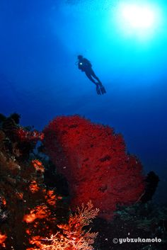 BIG SEAFAN south bolaang mongondow regency north sulawesi - indonesia