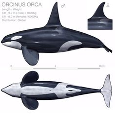 What's ORCA? : Orcinus orca