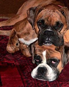Boxers have this thing about being in a pile....have you ever seen so much love and slobber in one place at one time??  SH