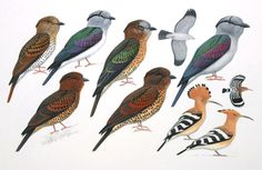 MAD-cuckoo-rollers-7501.jpg (750×487)