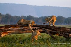 Christine et MichelDenis Huotphotographes animaliers – Young lions at play, Masai Mara Reserve, Kenya