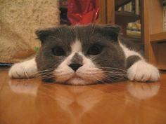 Description Scottish Fold P1050446e.jpg - See more stunning scottish fold cat picture at catsincare.com!