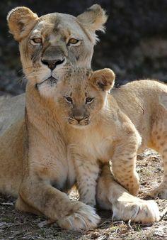 Leeuwin knuffelt met haar jongen