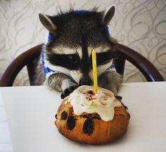 Anonymous said: today is my birthday can i see a happy raccoon eating cake Answer: I gotta stop doing these because I'm running out of birthday raccoons and I can't afford to be a charity but HAPPY...