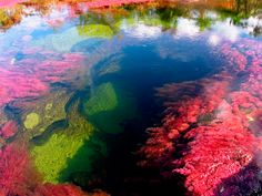 Caño Cristales River, also known as Five Colors River - Colombia