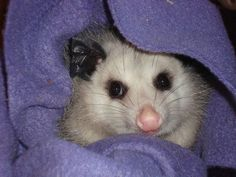 This young, female opossum just loves her new purple blanket. It's her favorite place to sleep.