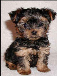 Teacup yorkie ❤ future dog?? ;)))