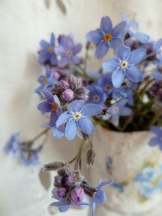 Bouquet de myosotis sylvatica (Woodland Forget-me-not)