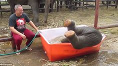 In March of this year an elephant was filmed having a great time in the tub while at The Royal Elephant Kraal and Village