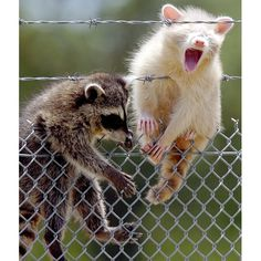 A pair of young raccoons, one of them albino, lounge on a chain-linked fence near the Jasper Street Water Plant in Wichita Falls, Texas...Looks Painful...