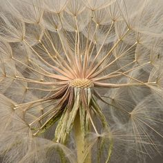 Beautiful photo of a dandelion clock on an article discussing chemical-free weed control.