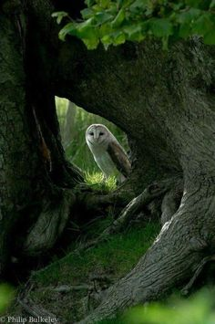 Barn Owl at home in the forest. Nature Animals, Animals And Pets, Cute Animals, Beautiful Owl, Animals Beautiful, Little Birds, Love Birds, Photo Animaliere, Owl Pictures