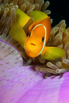 Clownfish and purple anemone - ©Barbara Mehli-Schilling (OceanImpressions) https://www.flickr.com/photos/55311562@N04/6963544719/