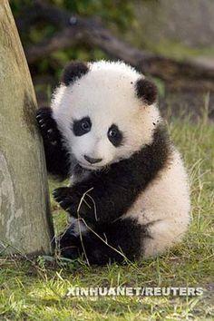 giant panda cubs - Google Search