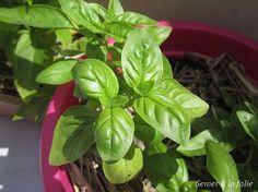 Comment tailler le basilic pour avoir un plant bien fourni : couper les sommités au-dessus d'une double paire de jeunes feuilles afin de produire 2 nouvelles têtes et couper les fleurs dès leur apparition pour que la plante consacre son énergie à produire des feuilles