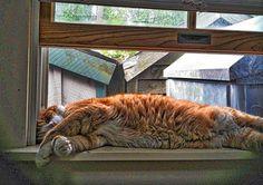Sleeping Cat on Windowsill