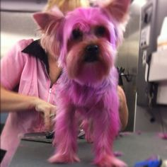 Yes it's a pink Yorkie!