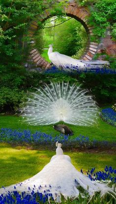 beautiful picture with peacocks, full of harmony and perfect color Peacock Images, Peacock Pictures, Most Beautiful Birds, Pretty Birds, Beautiful Wall, Exotic Birds, Colorful Birds, Rare Animals, Animals And Pets