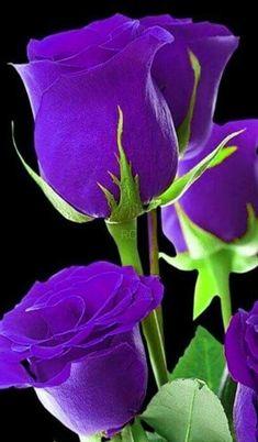 Shade Garden Flowers And Decor Ideas Rosas Violetas Beautiful Rose Flowers, Love Rose, Exotic Flowers, Amazing Flowers, Purple Flowers, Red Roses, Beautiful Flowers, Lavender Roses, Purple Love