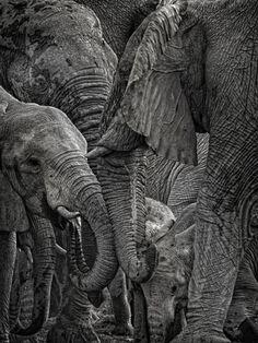 .elephants