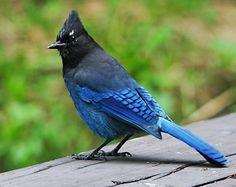 Garden Artworks Jay Feeder blue,scrub,stellar or squirrel nut box