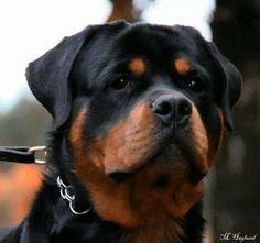 Wow-beautiful Rottweiler!