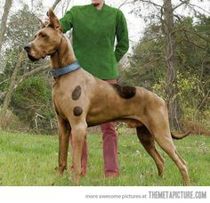 """Real life Scooby-Doo! My daughter saw this and said the same thing - """"Mommy a real Scooby-Doo!"""" (Great Dane Husky Mix)"""