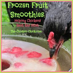 I make this frozen fruit smoothie ice ring for my chickens to help them beat the heat and they love it! When water is added to the ice ring,...