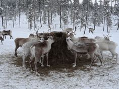 Call For Submissions: MLR Press wants MM romances with reindeer shifters — ManLove Romance Press wants your reindeer shifter stories! https://dalecameronlowry.com/call-for-submissions-shifting-through-the-snow/