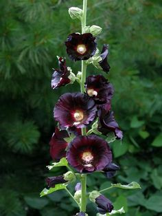 Hollyhock, Alcea nigra: Biennial but you can easily collect and start seed. It's one of the more striking hollyhocks with very dark maroon flowers about 6 in. across, growing to about 7 feet tall. Dark Flowers, Beautiful Flowers, Amazing Gardens, Beautiful Gardens, Hollyhocks Flowers, Zinnias, Irises, Gothic Garden, Black Garden