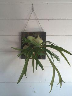 14 pokojových rostlin do stínu a polostínu Air Plants, Garden Plants, House Plants, Platycerium, Staghorn Fern, Outdoor Wall Art, Pallet Walls, Garden Spaces, Hanging Plants