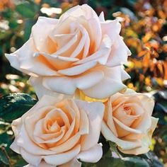 Marilyn Monroe Rose ~ Hybrid Tea with a mild fragrance
