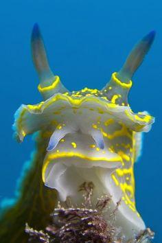 Head of a Hypselodoris picta / Mediterranean Sea, Spain   ;)