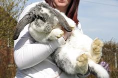 Adorable Giant French Lop! This is what ours will look like!!!